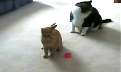 pisica vs laser pointer!