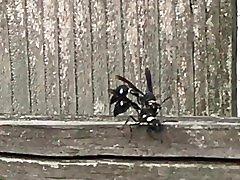 Huge big black wasp doing doggie style